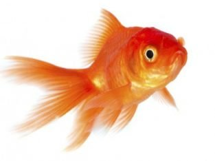 Rehoming Goldfish