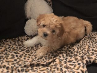 Cavoodle x Maltese puppies