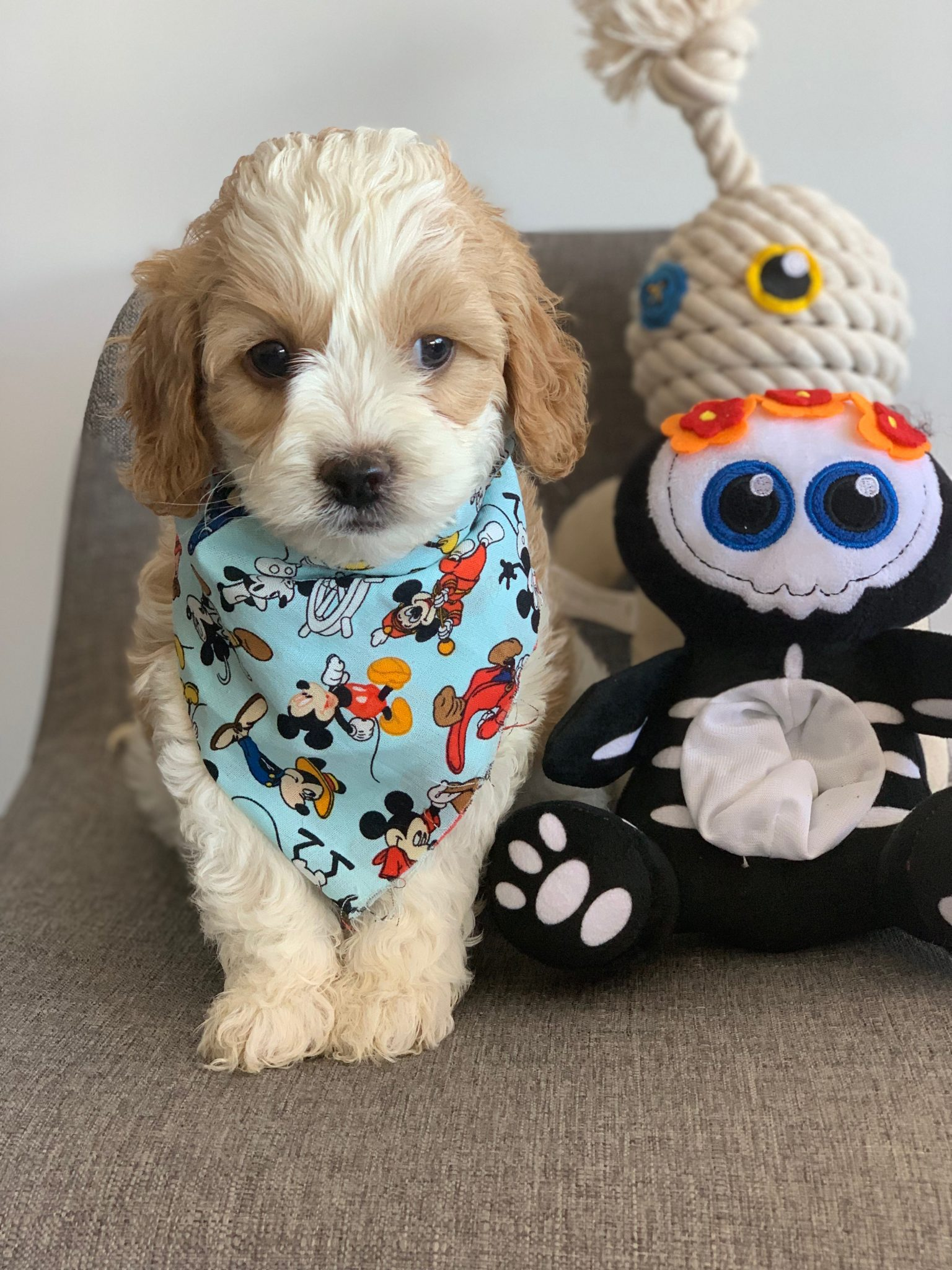 Cavoodle toy