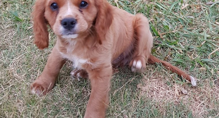 Cavoodle puppy BOY AVAILABLE