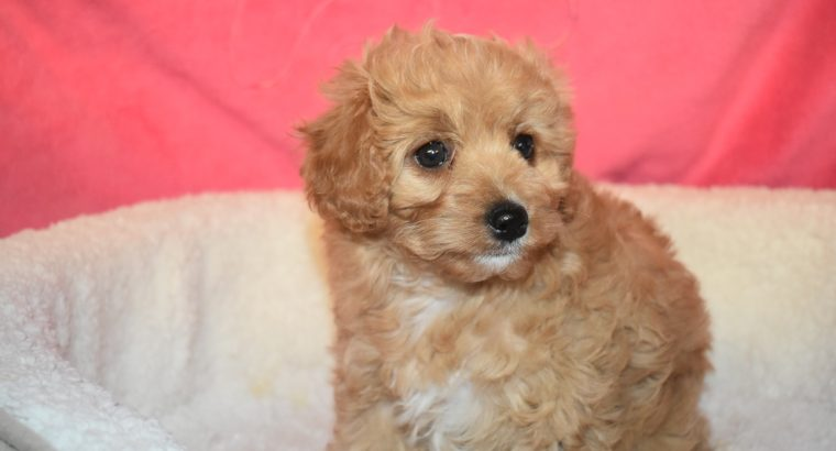 Cavoodle and Moodle puppies