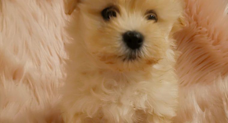 Tiny Maltese shitzu cross Pomeranian girl puppies