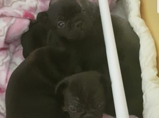 Pedigree french bulldog pups