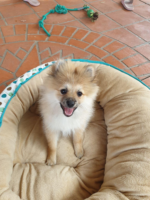 13 Week Old Male Pomeranian Puppy For Sale