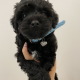 Toilet Trained Black Cavoodle Pup