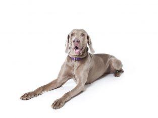 Wanted Weimaraner pup