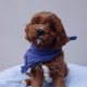 Toilet Trained Red Toy Cavoodle Puppies For Sale