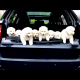 Samoyed purebred for sale