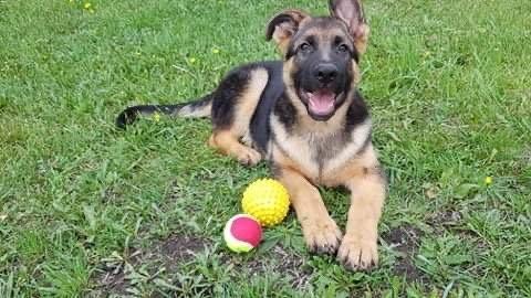 Purebred German Shepherd Male Pup