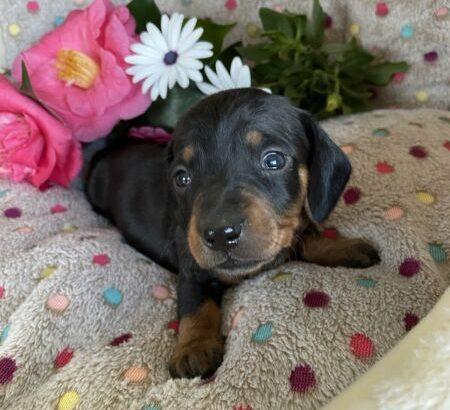 Purebred Miniature Dachshund Puppies Black and Tan