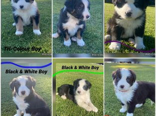 Pure border collie puppies