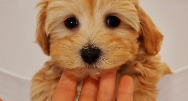 Moodle puppies – toiled trained!