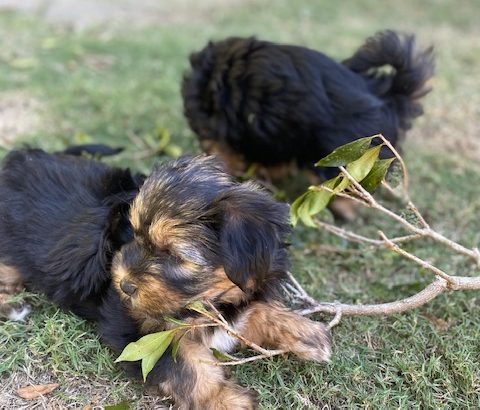 Moodles puppies