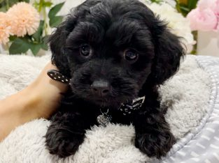Stunning Tiny Toy Cavoodles, Toilet Trained!