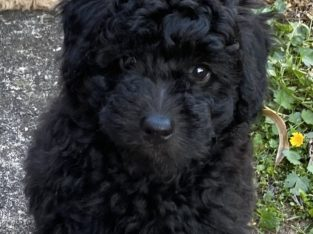 Toy Poodle Pure Bred Male