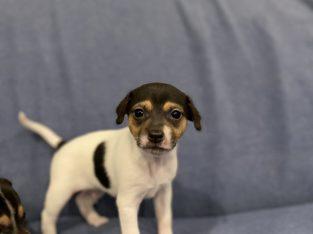 Tenterfield Terrier Pups