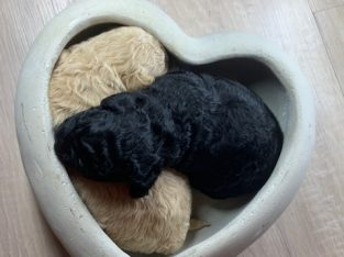 Pure Bred Toy Poodles
