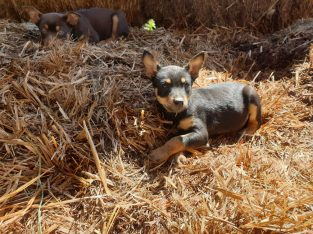 Small Breed Kelpies for sale
